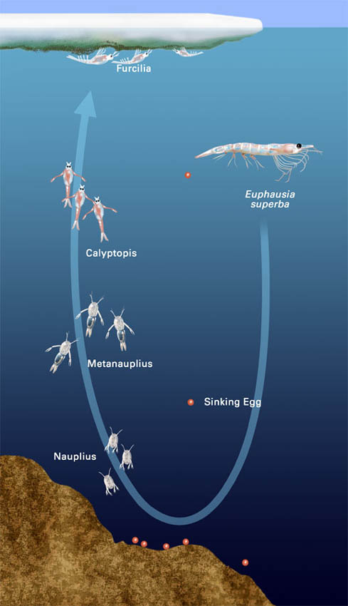 Krill life cycle, for Smithsonian National Museum of Natural ...