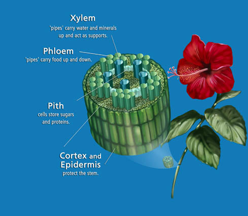 xylem and phloem. xylem and phloem